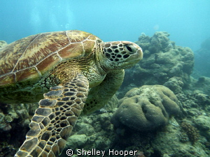 Beautiful sea turtle at Norman Reef, Great Barrier Reef, ... by Shelley Hooper