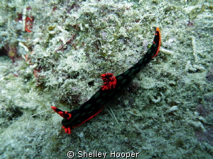 Nudibranch at Norman Reef, Great Barrier Reef, Cairns by Shelley Hooper