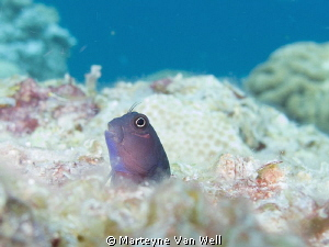 Little goby poking its head out by Marteyne Van Well