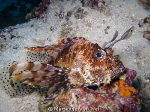 Lionfish by Marteyne Van Well