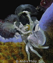 anemone-riding porcelain crab by Andre Philip