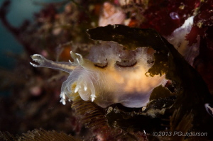 A little lunch perhaps. Dendronotus subramosus by Pat Gunderson