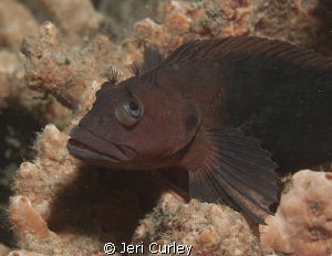 Blenny at Blue Heron Bridge by Jeri Curley