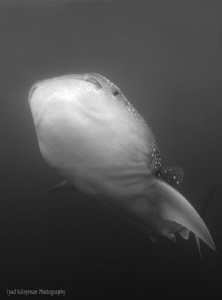 Whale Shark in Black and White by Iyad Suleyman