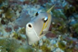 Scythe triggerfish, Namu atoll, Marshall Islands. D100, N... by Andre Seale