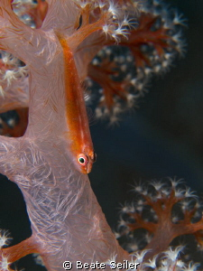 small goby on soft coral by Beate Seiler