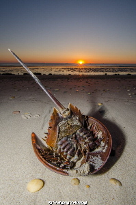 Horseshoecrab which didn´t make it back to the Atlantic d... by Wolfgang Zwicknagl