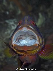 Great treatment -  Grouper enjoy cleaner shrimp treatme... by Uwe Schmolke