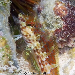 Colorful saddled blenny by Michele Kelly