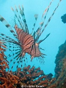 The beautiful lionfish against the beautiful blue by Christian Nielsen
