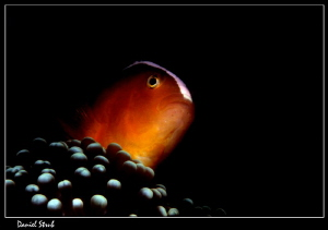 Skunk anemonefish :-D by Daniel Strub