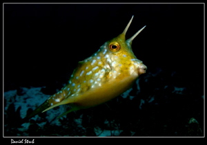 Longhorn cowfish :-D by Daniel Strub