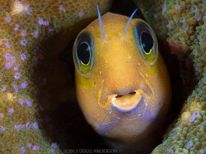 Midas Blenny, Pulau Weh by Doug Anderson