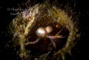 Mantis Shrimp, Veracruz Mexico by Alejandro Topete