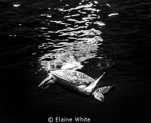 Diving Turtle by Elaine White