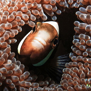 Anenome fish at home Lankayan, Borneo by Elaine White