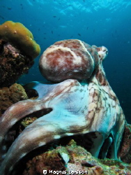 Octopus posing for the camera by Magnus Larsson