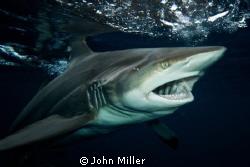 Black Tip Shark  by John Miller
