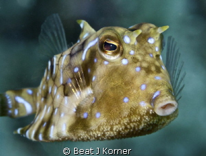Those Thornback Cowfish are often hard to spot but once y... by Beat J Korner