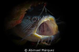 Splendid Toadfish by Abimael Márquez