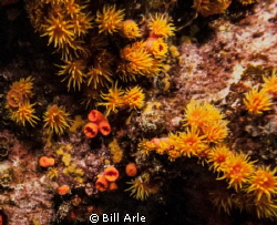 Anemones in a lava cave by Bill Arle
