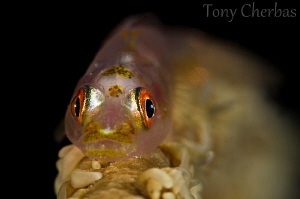 Goby at Night by Tony Cherbas