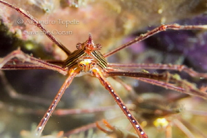 Arrow Crab, Acapulco Mexico by Alejandro Topete