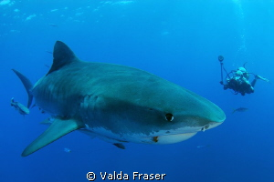 An encounter with a tiger shark. by Valda Fraser