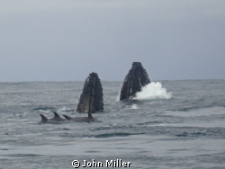Whales doing a SPY HOP, during their migration through th... by John Miller