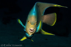 Beautiful Queen Angelfish - Electric! by Emilie Voissem