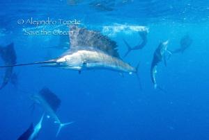 Hunting sardine, Isla Mujeres Mexico by Alejandro Topete