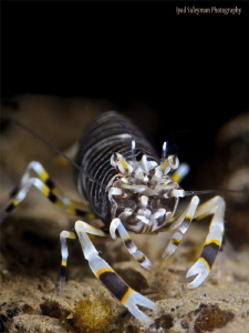Bumblebee Shrimp by Iyad Suleyman