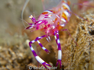 nice colorful shrimp by Beate Seiler