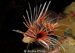 clearfin lionfish by Andre Philip