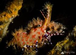 LV! LV! Saron Shrimp @ Anilao by Sherry Hsu