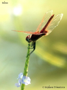 Dragonfly by Stéphane Primatesta