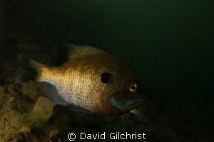Bluegill Sunfish -a  common freshwater species by David Gilchrist