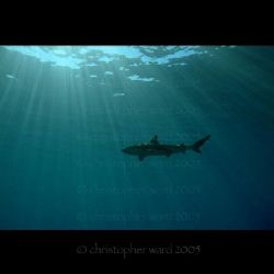 French Polynesia. Deco stop, black tip sharks circle. Thi... by Christopher Ward