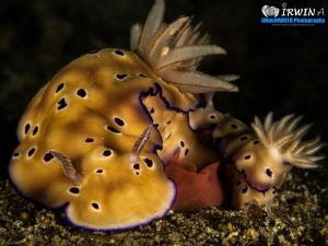 Happy Father's Day and Happy Sunday  Nudibranch ( Chromo... by Irwin Ang