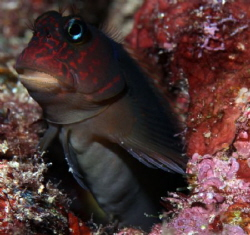 Red Streaked Blenny, 100mm macro lens w/ 1.4 teleconverter by Martin Dalsaso