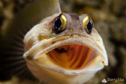 Ah.... Jawfish @ Anilao by Sherry Hsu