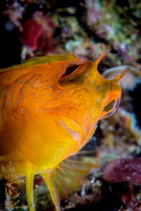 African Blenny, Parablennius pilicornis, Yellow Phase by Marco Gargiulo