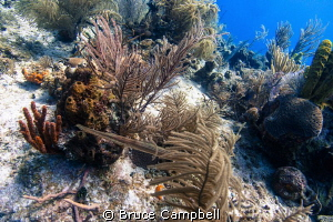 A trumpet fish hunting by Bruce Campbell