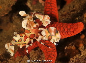 The harlequin shrimp battled to dislodge the starfish.  T... by Valda Fraser