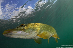 Pike close to the surface hunting... :O)... by Michel Lonfat