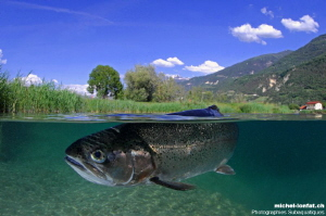 Trout close to the surface... :O).. by Michel Lonfat