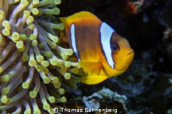 Clownfish at Anemone City - Daedalus Reef