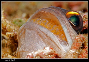 Mouth-hatching jawfish :-D by Daniel Strub