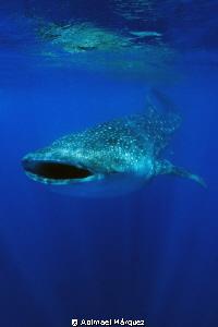 Whale Shark by Abimael Márquez