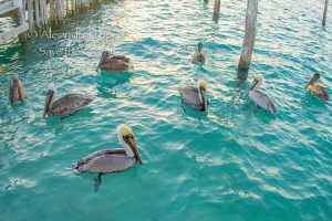Pelicans waiting food, Isla Mujeres Mexico by Alejandro Topete